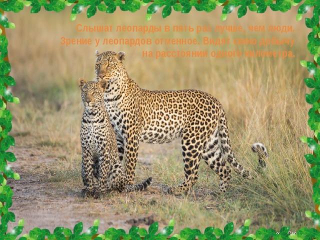 Слышат леопарды в пять раз лучше, чем люди. Зрение у леопардов отменное. Видят свою добычу на расстоянии одного километра.