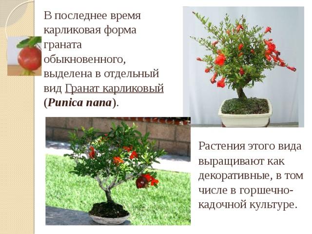 В последнее время карликовая форма граната обыкновенного, выделена в отдельный вид Гранат карликовый ( Punica nana ).  Растения этого вида выращивают как декоративные, в том числе в горшечно-кадочной культуре.