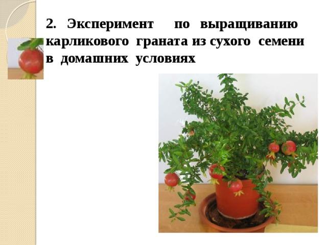 2. Эксперимент по выращиванию карликового граната из сухого семени в домашних условиях