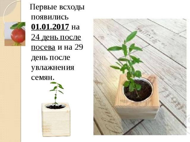 Первые всходы появились 01.01.2017 на 24 день после посева и на 29 день после увлажнения семян.