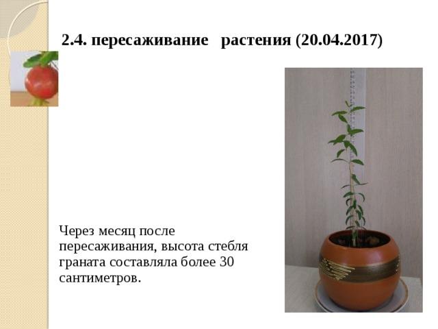 2.4. пересаживание растения (20.04.2017) К К Через месяц после пересаживания, высота стебля граната составляла более 30 сантиметров. К концу апреля высота стебля граната составляет более 30 снтиметров.