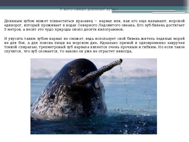 У кого самые длинные зубы? Длинным зубом может похвастаться красавец − нарвал или, как его еще называют, морской единорог, который проживает в водах Северного Ледовитого океана. Его зуб-бивень достигает 3 метров, а весит это чудо природы около десяти килограммов. И укусить таким зубом нарвал не сможет, ведь использует свой бивень житель ледяных морей не для боя, а для поиска пищи на морском дне. Идеально прямой и одновременно закручен тонкой спиралью, трехметровый зуб нарвала является очень прочным и гибким. Но если такое случится, что зуб сломается, то заново он уже не отрастет никогда.
