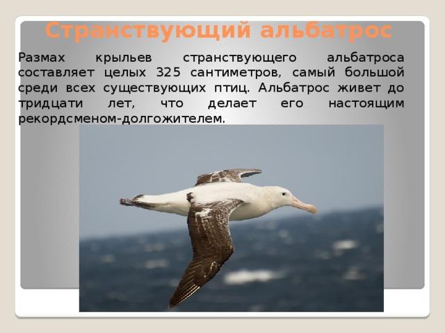Странствующий альбатрос Размах крыльев странствующего альбатроса составляет целых 325 сантиметров, самый большой среди всех существующих птиц. Альбатрос живет до тридцати лет, что делает его настоящим рекордсменом-долгожителем.