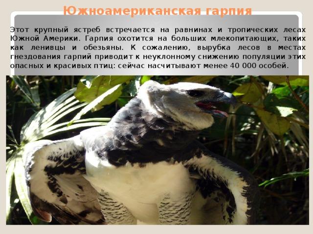 Южноамериканская гарпия Этот крупный ястреб встречается на равнинах и тропических лесах Южной Америки. Гарпия охотится на больших млекопитающих, таких как ленивцы и обезьяны. К сожалению, вырубка лесов в местах гнездования гарпий приводит к неуклонному снижению популяции этих опасных и красивых птиц: сейчас насчитывают менее 40 000 особей.