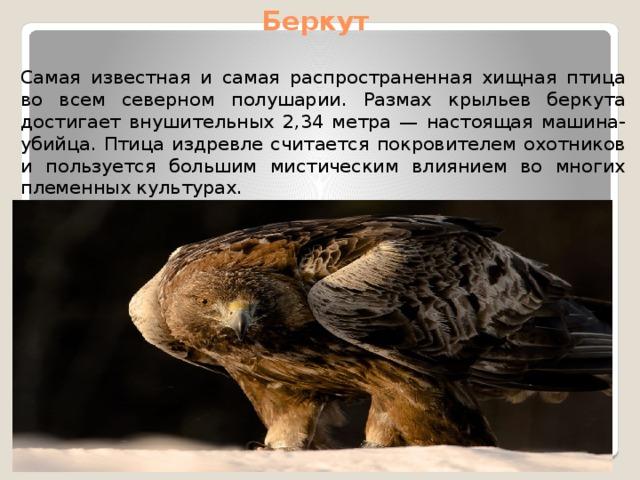 Беркут Самая известная и самая распространенная хищная птица во всем северном полушарии. Размах крыльев беркута достигает внушительных 2,34 метра — настоящая машина-убийца. Птица издревле считается покровителем охотников и пользуется большим мистическим влиянием во многих племенных культурах.