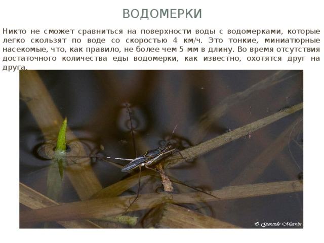 Водомерки Никто не сможет сравниться на поверхности воды с водомерками, которые легко скользят по воде со скоростью 4 км/ч. Это тонкие, миниатюрные насекомые, что, как правило, не более чем 5 мм в длину. Во время отсутствия достаточного количества еды водомерки, как известно, охотятся друг на друга.
