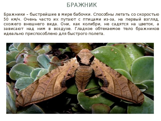 Бражник Бражники – быстрейшие в мире бабочки. Способны летать со скоростью 50 км/ч. Очень часто их путают с птицами из-за, на первый взгляд, схожего внешнего вида. Они, как колибри, не садятся на цветок, а зависают над ним в воздухе. Гладкое обтекаемое тело бражников идеально приспособлено для быстрого полета.