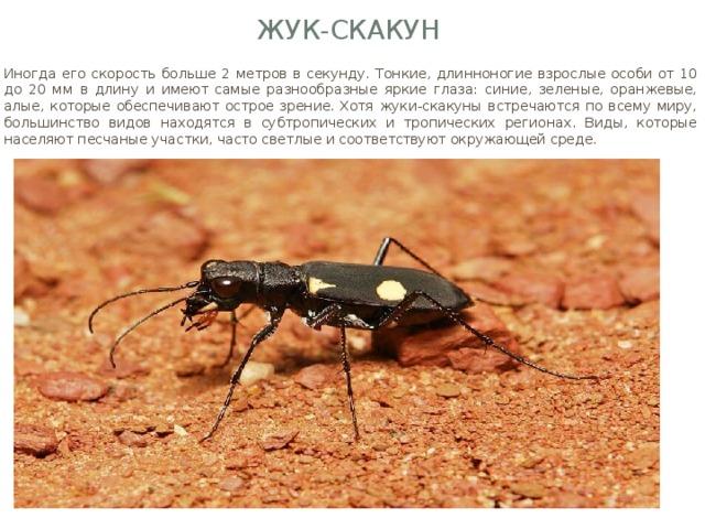 Жук-скакун Иногда его скорость больше 2 метров в секунду. Тонкие, длинноногие взрослые особи от 10 до 20 мм в длину и имеют самые разнообразные яркие глаза: синие, зеленые, оранжевые, алые, которые обеспечивают острое зрение. Хотя жуки-скакуны встречаются по всему миру, большинство видов находятся в субтропических и тропических регионах. Виды, которые населяют песчаные участки, часто светлые и соответствуют окружающей среде.