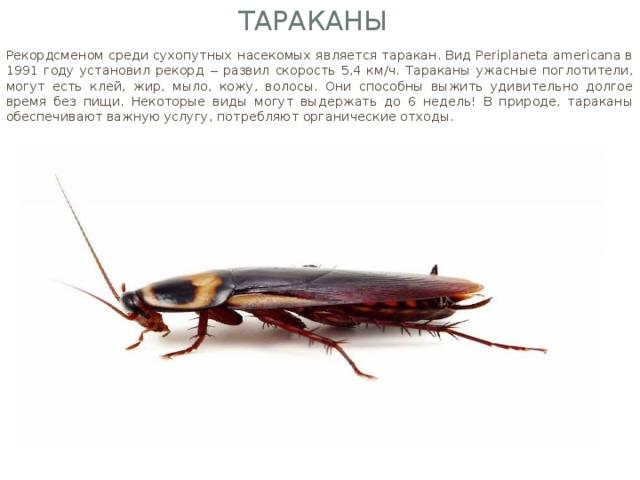 Тараканы Рекордсменом среди сухопутных насекомых является таракан. Вид Periplaneta аmericana в 1991 году установил рекорд ‒ развил скорость 5,4 км/ч. Тараканы ужасные поглотители, могут есть клей, жир, мыло, кожу, волосы. Они способны выжить удивительно долгое время без пищи. Некоторые виды могут выдержать до 6 недель! В природе, тараканы обеспечивают важную услугу, потребляют органические отходы.