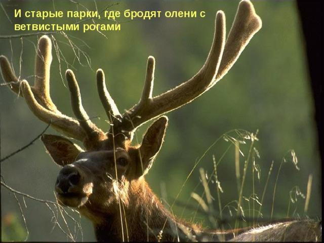 И старые парки, где бродят олени с ветвистыми рогами