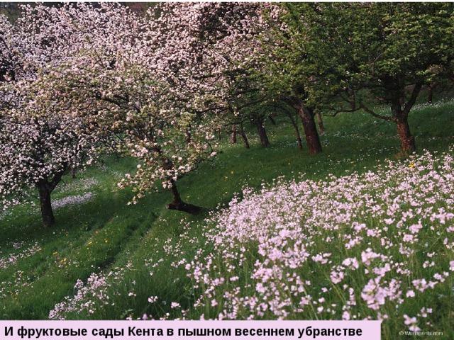 И фруктовые сады Кента в пышном весеннем убранстве