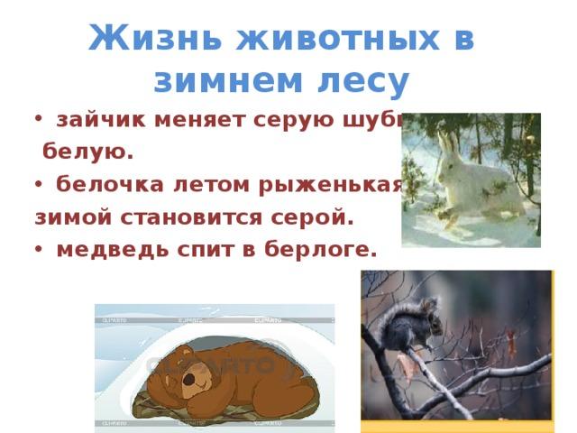 Жизнь животных в зимнем лесу зайчик меняет серую шубку на  белую. белочка летом рыженькая , а зимой становится серой.
