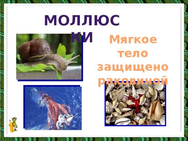 моллюски моллюски Мягкое тело защищено раковиной