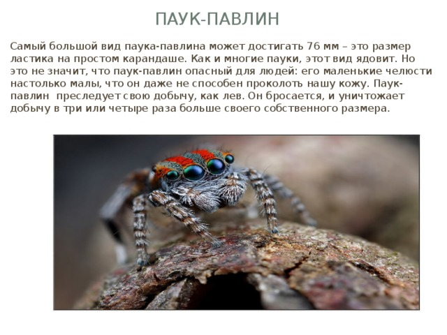 Паук-павлин Самый большой вид паука-павлина может достигать 76 мм – это размер ластика на простом карандаше. Как и многие пауки, этот вид ядовит. Но это не значит, что паук-павлин опасный для людей: его маленькие челюсти настолько малы, что он даже не способен проколоть нашу кожу. Паук-павлин преследует свою добычу, как лев. Он бросается, и уничтожает добычу в три или четыре раза больше своего собственного размера.