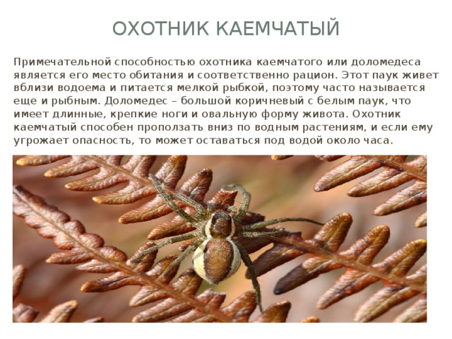 Охотник каемчатый Примечательной способностью охотника каемчатого или доломедеса является его место обитания и соответственно рацион. Этот паук живет вблизи водоема и питается мелкой рыбкой, поэтому часто называется еще и рыбным. Доломедес – большой коричневый с белым паук, что имеет длинные, крепкие ноги и овальную форму живота. Охотник каемчатый способен проползать вниз по водным растениям, и если ему угрожает опасность, то может оставаться под водой около часа.