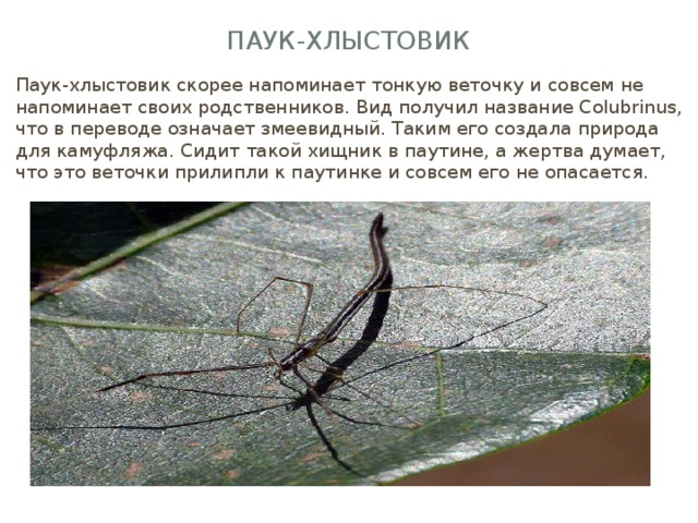 Паук-хлыстовик Паук-хлыстовик скорее напоминает тонкую веточку и совсем не напоминает своих родственников. Вид получил название Сolubrinus, что в переводе означает змеевидный. Таким его создала природа для камуфляжа. Сидит такой хищник в паутине, а жертва думает, что это веточки прилипли к паутинке и совсем его не опасается.