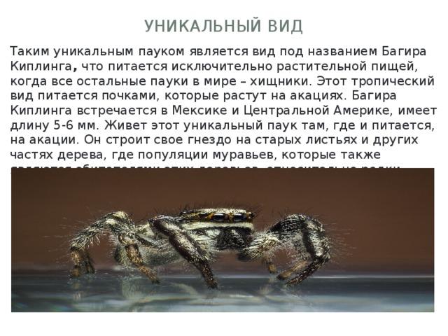 Уникальный вид Таким уникальным пауком является вид под названием Багира Киплинга , что питается исключительно растительной пищей, когда все остальные пауки в мире – хищники. Этот тропический вид питается почками, которые растут на акациях. Багира Киплинга встречается в Мексике и Центральной Америке, имеет длину 5-6 мм. Живет этот уникальный паук там, где и питается, на акации. Он строит свое гнездо на старых листьях и других частях дерева, где популяции муравьев, которые также являются обитателями этих деревьев, относительно редки.