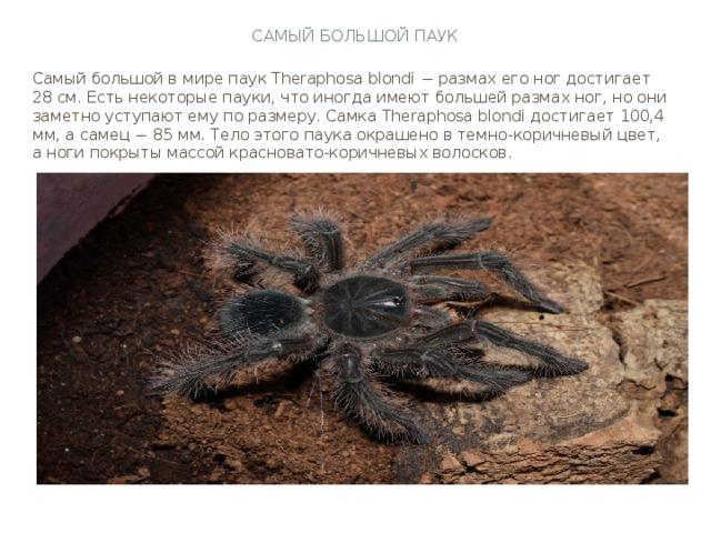 Самый большой паук Самый большой в мире паук Theraphosa blondi − размах его ног достигает 28 см. Есть некоторые пауки, что иногда имеют большей размах ног, но они заметно уступают ему по размеру. Самка Theraphosa blondi достигает 100,4 мм, а самец − 85 мм. Тело этого паука окрашено в темно-коричневый цвет, а ноги покрыты массой красновато-коричневых волосков.