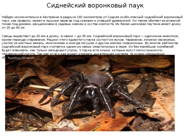 Сиднейский воронковый паук Найден исключительно в Австралии в радиусе 160 километров от Сиднея особо опасный сиднейский воронковый паук, как правило, живет в пышных оврагах под скалами и упавшей древесиной. Он также обитает во влажной почве под домами, расщелинами в садовых камнях и кустах компоста. Их белая шелковая паутина имеет длину от 20 до 60 см. Самцы вырастают до 25 мм в длину, а самки − до 35 мм. Сиднейский воронковый паук − одиночное животное, кроме периода спаривания. Рацион этого ядовитого паука состоит из жуков, тараканов, личинок насекомых, улиток из местных земель, многоножек и иногда лягушек и других мелких позвоночных. Во многих рейтингах сиднейский воронковый паук считается одним из самых смертоносных в мире. Он без малейших колебаний будет атаковать, как только заподозрит угрозу. У паука есть клыки, которые могут легко проколоть человеческий ноготь. Так как от его яда может отказать дыхательная система, то нужно немедленно обращаться в медицинское учреждение.