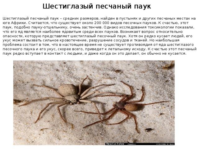 Шестиглазый песчаный паук Шестиглазый песчаный паук – средних размеров, найден в пустынях и других песчаных местах на юге Африки. Считается, что существует около 200 000 видов песочных пауков. К счастью, этот паук, подобно пауку-отшельнику, очень застенчив. Однако исследования токсикологии показали, что его яд является наиболее ядовитым среди всех пауков. Возникает вопрос относительно опасности, которую представляет шестиглазый песочный паук. Хотя он редко кусает людей, его укус может вызвать сильное кровотечение, разрушение сосудов и тканей. Но наибольшая проблема состоит в том, что в настоящее время не существует противоядия от яда шестиглазого песочного паука и его укус, скорее всего, приведет к летальному исходу. К счастью этот песчаный паук редко вступает в контакт с людьми, и даже когда он это делает, он обычно не кусается.
