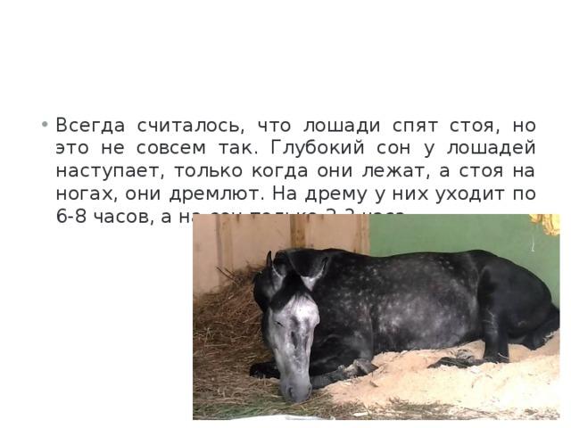 Всегда считалось, что лошади спят стоя, но это не совсем так. Глубокий сон у лошадей наступает, только когда они лежат, а стоя на ногах, они дремлют. На дрему у них уходит по 6-8 часов, а на сон только 2-3 часа.
