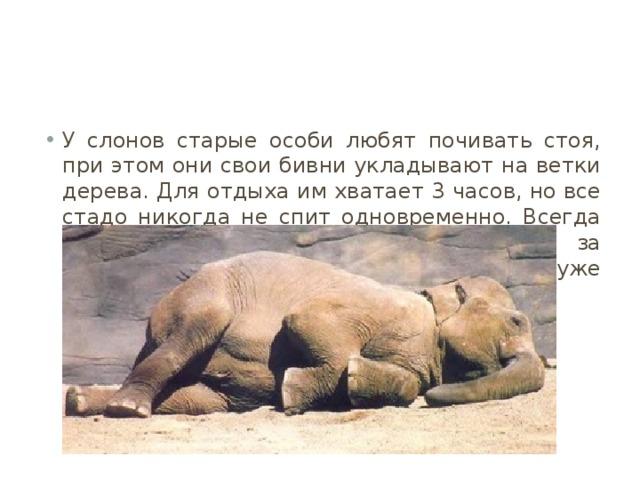 У слонов старые особи любят почивать стоя, при этом они свои бивни укладывают на ветки дерева. Для отдыха им хватает 3 часов, но все стадо никогда не спит одновременно. Всегда остаются ответственные стражи за безопасность, которых потом сменяют уже отдохнувшие.