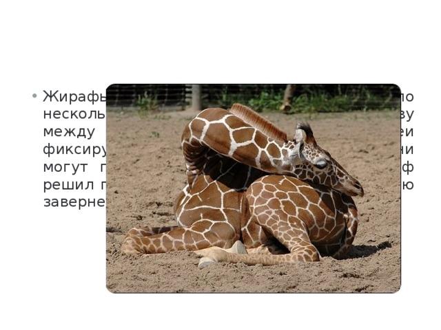 Жирафы могут обходиться одной дремой по несколько недель. Они засовывают голову между веток и благодаря мышцам шеи фиксируют свое тело. В таком состоянии они могут подремать 20 минут. А если жираф решил поспать, то он ляжет на камни, а шею завернет вокруг ног.