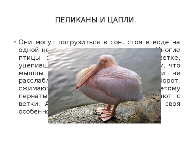 Пеликаны и цапли.