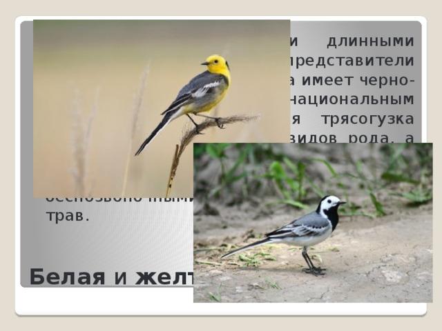 Обе выделяются своими длинными хвостами, как и другие представители семейства. Белая трясогузка имеет черно-белое оперение и является национальным символом Латвии. Желтая трясогузка самая мелкая среди всех видов рода, а также имеет более короткий хвост. Эти птицы питаются различными беспозвоночными, которых ищут среди трав.