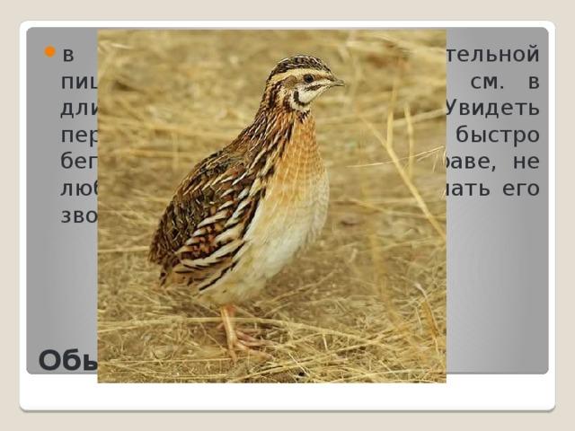 в основном питается растительной пищей. Птица примерно 17,5 см. в длину и весит от 70 до 155 г. Увидеть перепела очень трудно, он быстро бегает, отлично прячется в траве, не любит летать, но можно услышать его звонкую песню.
