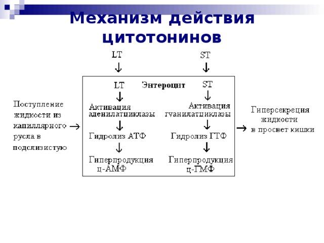 Механизм действия цитотонинов
