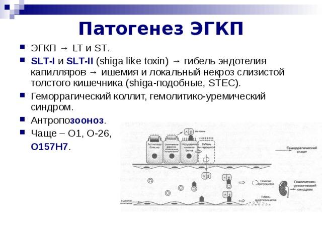 Патогенез ЭГКП ЭГКП → LT и ST . SLT - I и SLT - II  ( shiga like toxin ) → гибель эндотелия капилляров → ишемия и локальный некроз слизистой толстого кишечника ( shiga -подобные, STEC ). Геморрагический коллит, гемолитико-уремический синдром. Антропо зооноз . Чаще – О1, О-26,  О157Н7 .