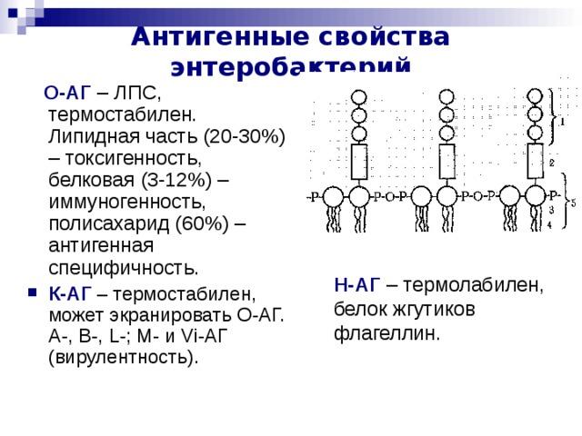 Антигенные свойства энтеробактерий  О-АГ – ЛПС, термостабилен. Липидная часть (20-30%) – токсигенность, белковая (3-12%) – иммуногенность, полисахарид (60%) – антигенная специфичность. К-АГ  – термостабилен, может экранировать О-АГ.  А-, В-, L -; M - и Vi -АГ (вирулентность). Н-АГ – термолабилен, белок жгутиков флагеллин. Переход от S к R форме – потеря способности агглютинировать.