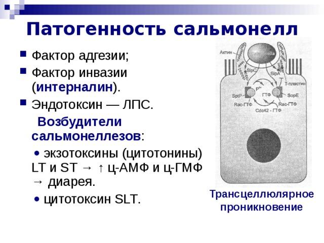 Патогенность  сальмонелл Фактор адгезии; Фактор инвазии ( интерналин ). Эндотоксин — ЛПС.  Возбудители сальмонеллезов :    экзотоксины (цитотонины) LT и ST  →  ↑ ц-АМФ и ц-ГМФ → диарея.    цитотоксин SLT . Трансцеллюлярное проникновение