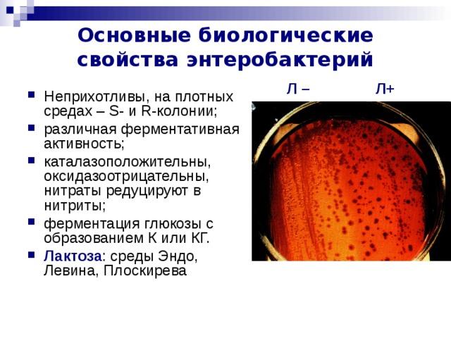 Основные биологические свойства энтеробактерий Л+ Л – Неприхотливы, на плотных средах – S - и R -колонии; различная ферментативная активность; каталазоположительны, оксидазоотрицательны, нитраты редуцируют в нитриты; ферментация глюкозы с образованием К или КГ. Лактоза : среды Эндо, Левина, Плоскирева каталазоположительны (кроме Sh . dysenteriae серогруппы 1),
