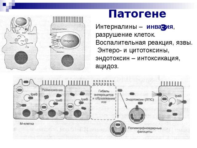 Патогенез Интерналины – инвазия , разрушение клеток. Воспалительная реакция, язвы.  Энтеро- и цитотоксины, эндотоксин – интоксикация, ацидоз.