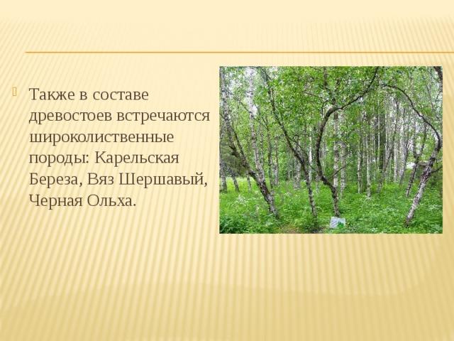 Также в составе древостоев встречаются широколиственные породы: Карельская Береза, Вяз Шершавый, Черная Ольха.