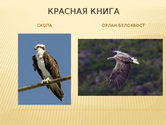 Красная книга Скопа Орлан-белохвост
