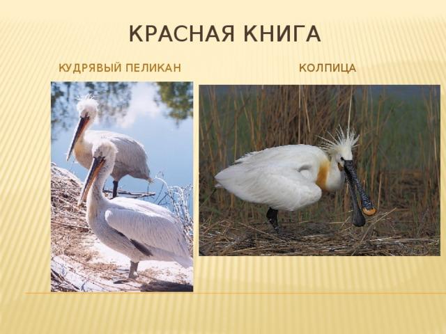 Красная книга Кудрявый пеликан колпица