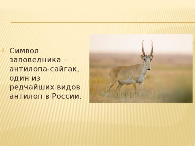 Символ заповедника – антилопа-сайгак, один из редчайших видов антилоп в России.