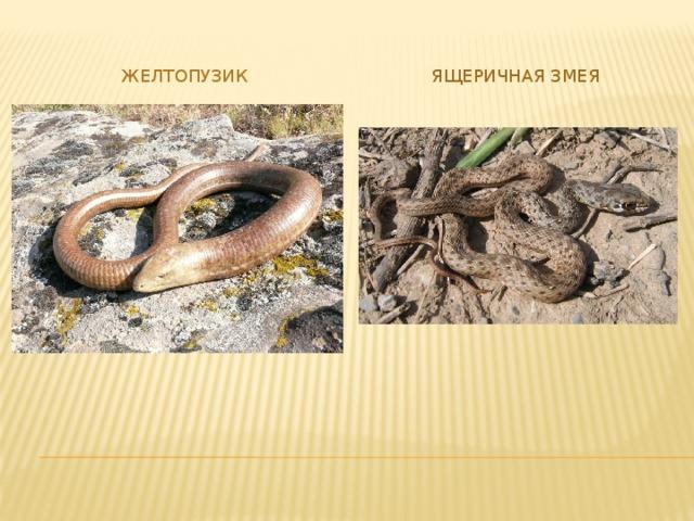 желтопузик Ящеричная змея