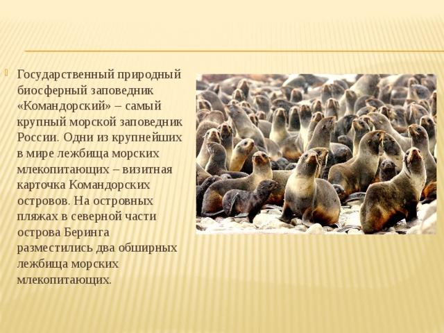 Государственный природный биосферный заповедник «Командорский» – самый крупный морской заповедник России. Одни из крупнейших в мире лежбища морских млекопитающих – визитная карточка Командорских островов. На островных пляжах в северной части острова Беринга разместились два обширных лежбища морских млекопитающих.
