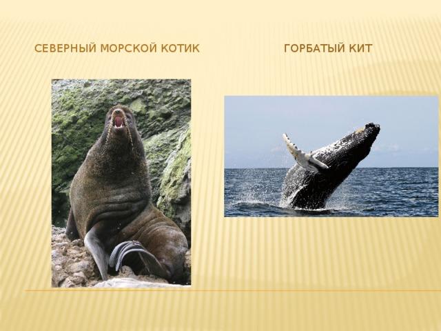 Северный морской котик Горбатый кит