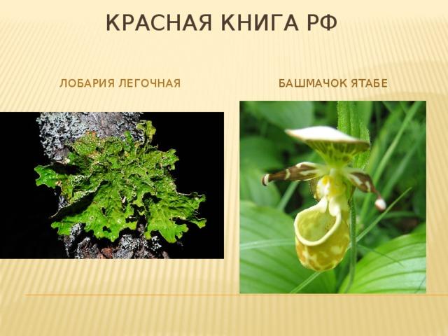 Красная книга РФ Лобария легочная Башмачок ятабе