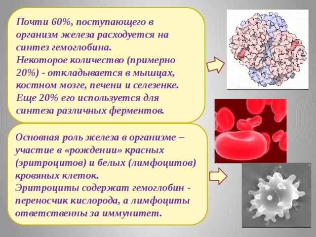 Почти 60%, поступающего в организм железа расходуется на синтез гемоглобина. Некоторое количество (примерно 20%) - откладывается в мышцах, костном мозге, печени и селезенке. Еще 20% его используется для синтеза различных ферментов. Основная роль железа в организме – участие в «рождении» красных (эритроцитов) и белых (лимфоцитов) кровяных клеток. Эритроциты содержат гемоглобин - переносчик кислорода, а лимфоциты ответственны за иммунитет.
