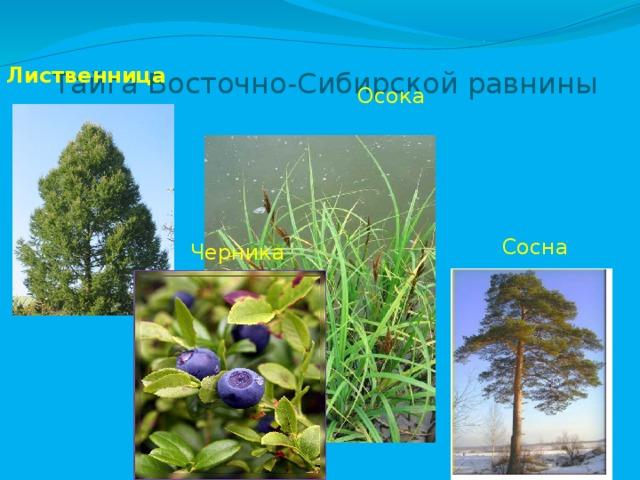 Тайга Восточно-Сибирской равнины Лиственница  Осока Сосна Черника