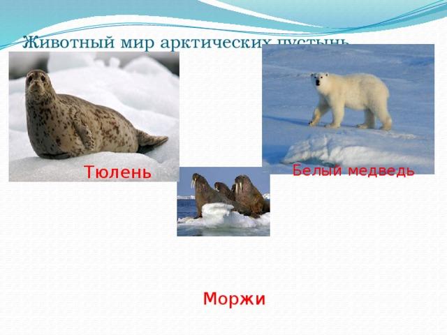 Животный мир арктических пустынь Тюлень Белый медведь Моржи