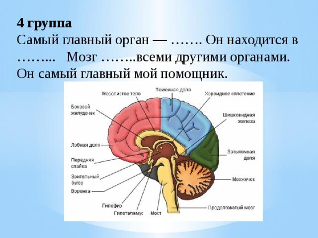 4 группа Самый главный орган — ……. Он находится в ……... Мозг ……..всеми другими органами. Он самый главный мой помощник.