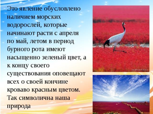 Это явление обусловлено наличием морских водорослей, которые начинают расти с апреля по май, летом в период бурного рота имеют насыщенно зеленый цвет, а к концу своего существования оповещают всех о своей кончине кроваво красным цветом. Так символична наша природа