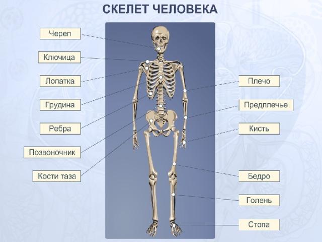 одно скелет человека в картинках с названиями костей отличии жираф